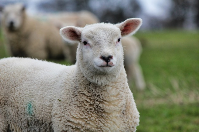 sheep newsletter